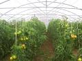 invernaderos-tunel-asthor-5