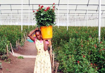 Africa – Asthor PVF 960 – Roses